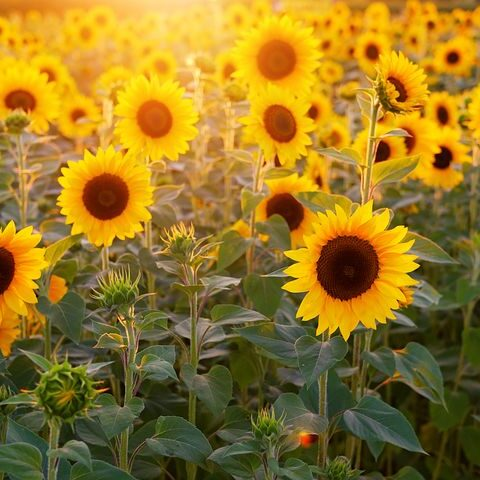 sunflower-3550693__480